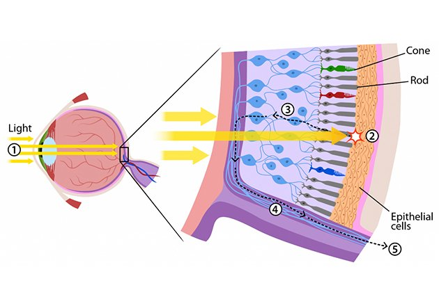 Light is absorbed by rods and cones at the back of the human eye